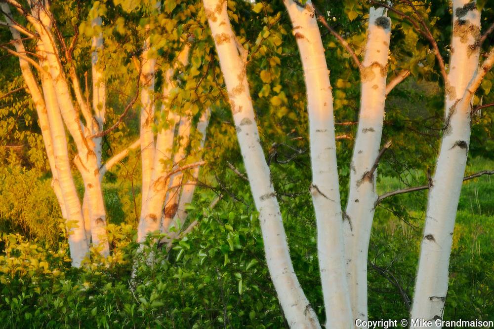 Birches at sunset, Near Mactaquac , New Brunswick, Canada