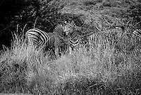 A dazzle of zebra on the grass, South Africa.<br />