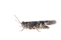 IFTE-NB-007847; Niall Benvie; Oedipoda germanica; grasshopper; Europe; Austria; Tirol; Fliesser Sonnenhänge; insect arthropod invertebrate; horizontal; high key; grey white; controlled; male; adult; one; moorland; 2008; July; summer; strobe backlight; Wild Wonders of Europe Naturpark Kaunergrat