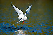 Arctic Terns are long-lived birds, with many reaching thirty years of age. They eat mainly fish and small marine invertebrates. The species is abundant, with an estimated one million individuals.