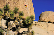 Joshua Tree and rock climber on boulder in Echo Cove, Joshua Tree National Park, California