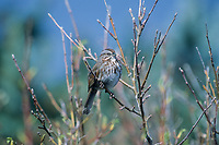 Song Sparrow (Melospiza melodia), Berry Point, Gabriola Island, British Columbia, Canada - Photo: Peter Llewellyn
