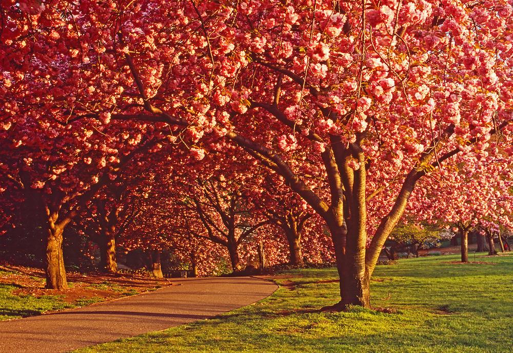 Cherry Blossoms Path,  Brooklyn Botanic Garden, Brooklyn, New York