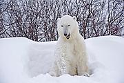 Polar bear in snow during storm<br /> Churchill<br /> Manitoba<br /> Canada