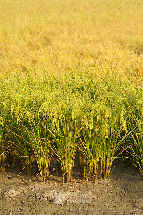 Rice paddy in Thailand