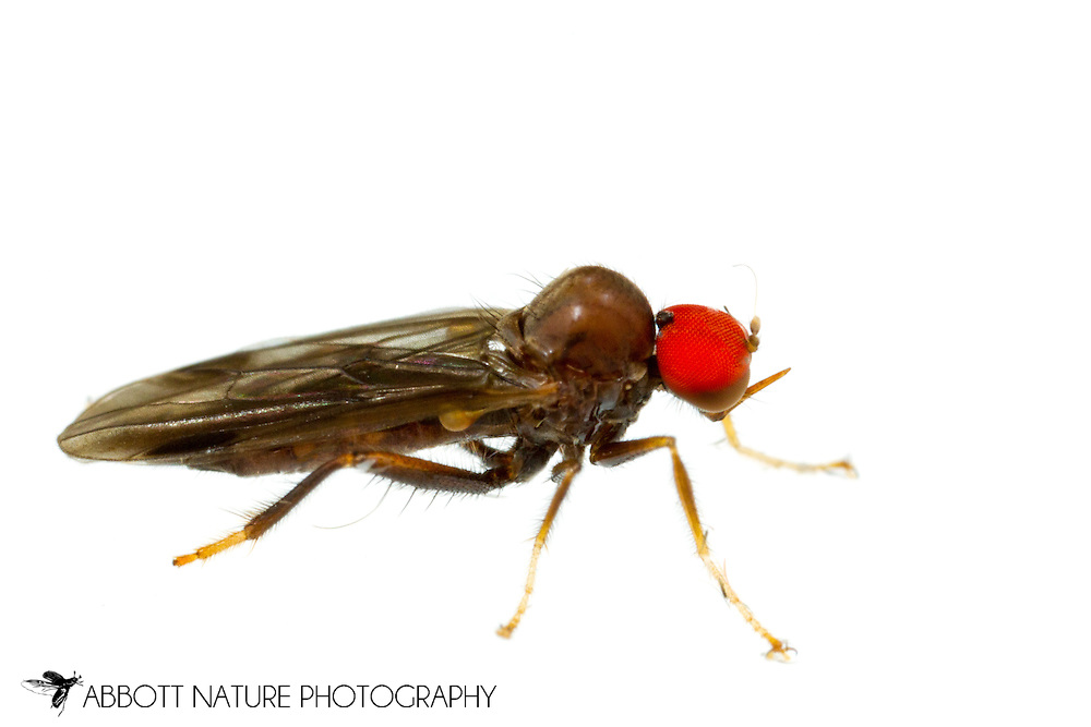Hybotid Dance Fly (Syneches sp.)<br /> United States: Alabama: Tuscaloosa Co.<br /> Tulip Tree Springs off Echola Rd.; Elrod<br /> 26-May-2016<br /> J.C. Abbott #2820 &amp; K.K. Abbott