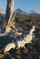 Sun bleached trees stand out among the black lava fields of McKenzie Pass Oregon. The Three Sisters volcanoes are in the distance.