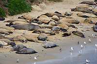 Northern Elephant Seal (Mirounga angustirostris) colony on beach at Elephant Seal overlook,  Point Reyes National Seashore, California, USA