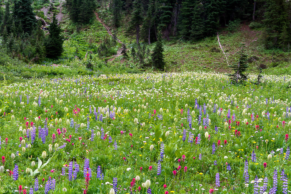 Wildflowers including Lupines, Paintbrush, Arnica and Alpine Asters in full bloom at Tipsoo Lake in Mount Rainier National Park, Washington State, USA