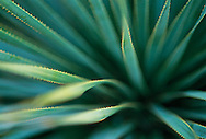 The leaves of an aloe plant