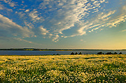 Field of common or oxeye daisy (Leucanthemum vulgare or Chrysanthemum leucanthemum) flowers at sunset<br />Greenwich<br />Prince Edward Island <br />Canada