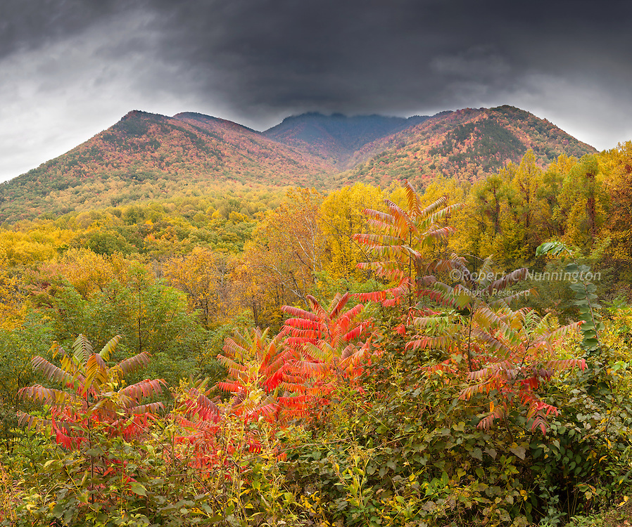 Soft overcast light brings out the diverse fall colors of the many plant species for which the Smokies are renowned. The brightly colored Sumacs species are found as shrubs or small trees and grow in subtropical and temperate regions throughout the world, especially in Africa and North America. The dried drupes of some species are ground to produce a tangy crimson spice, or infusions to make drinks. Other species have medicinal properties. Newfound Gap road, Great Smoky Mountains National Park, Tennessee, USA.