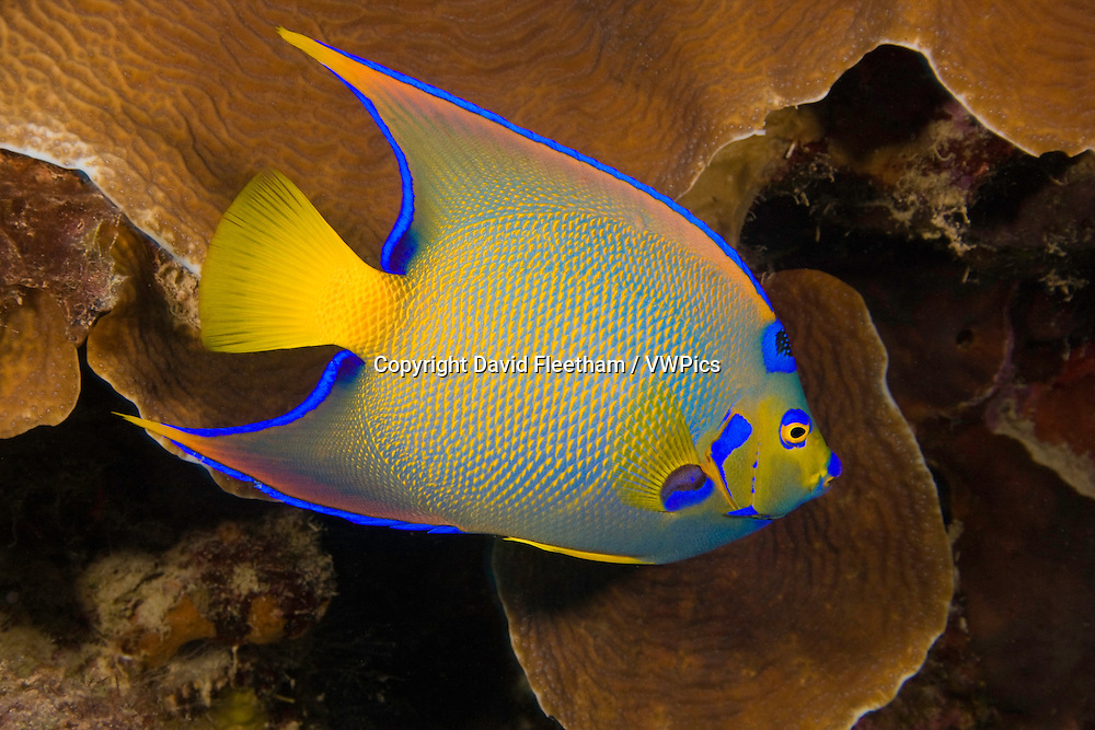 The queen angelfish, Holacanthus ciliaris, reaches 18 inches in length and is common in the Caribbean, Bonaire.