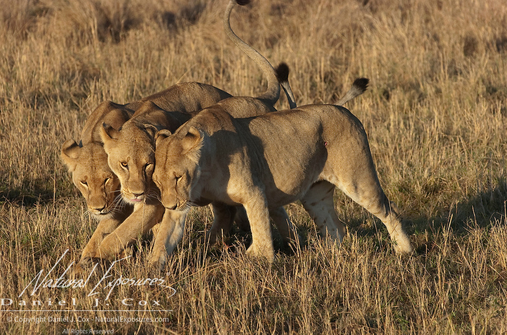 African Lion (Panthera leo) pride in grass. Masai Mara National Reserve, Kenya, Africa