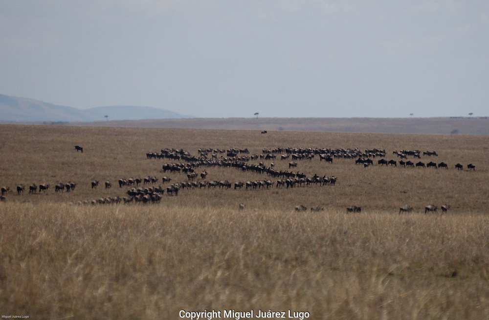Aherd of wildebeest, also known as gnu, star to form a line to return south to the Serengeti, after months of grazing in the northern grasslands of the Maasai Mara plains during the rainy season. (PHOTO: MIGUEL JUAREZ LUGO)