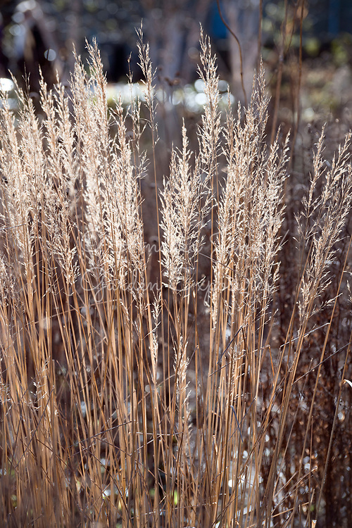 Calamagrostis brachytrica seedheads in the new Prairie Garden at Cambo Gardens, Fife, Scotland