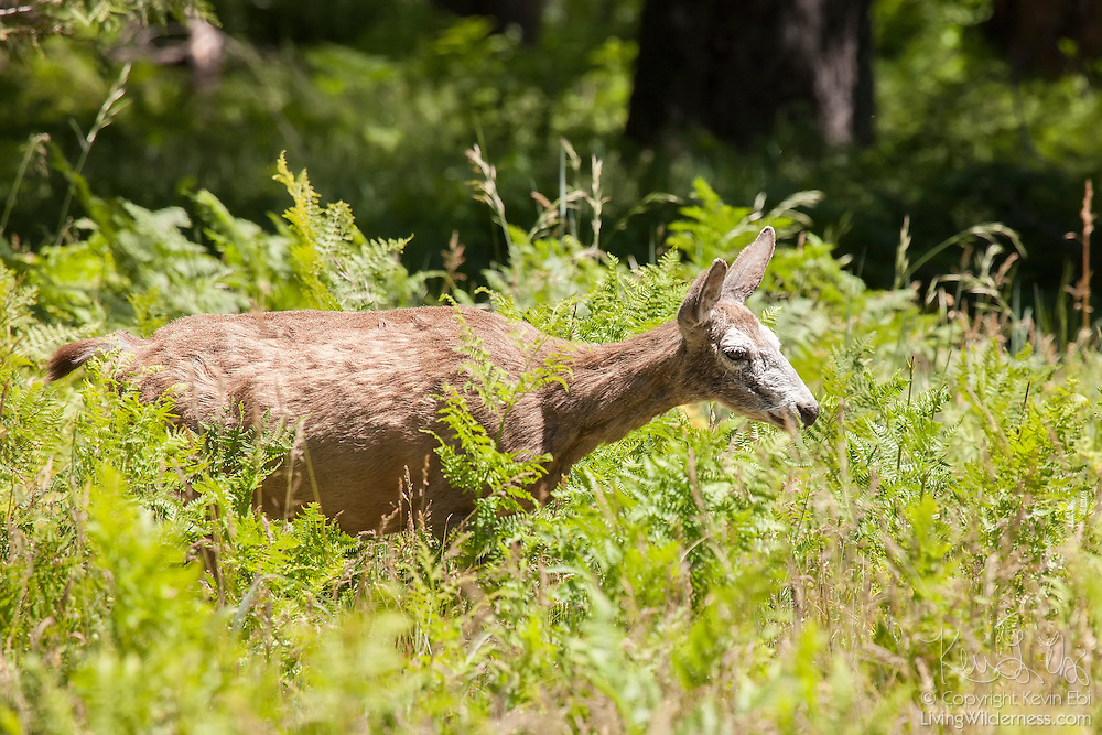 A Mule Deer, also known as a Black-Tailed Deer (Odocoileus hemionus), feeds on ferns and other plants in Yosemite Valley, Yosemite National Park, California.
