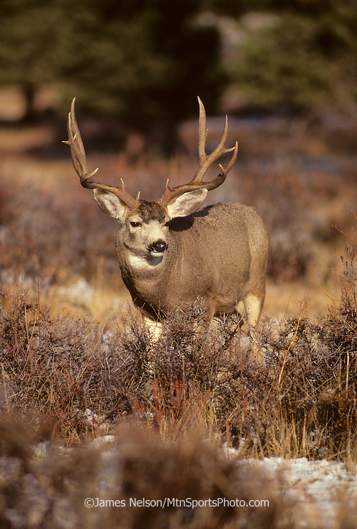 12-843. Mule deer buck in the Rocky Mountains of northern Colorado.