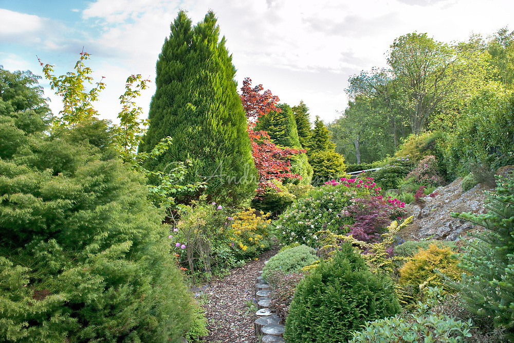 Evergreen coniferous and deciduous trees, ericaceous borders including Rhododendron luteum (yellow azalea), Acer palmatums and cypress varieties at the top of the garden.<br /> The Lookout garden, Inverness-shire