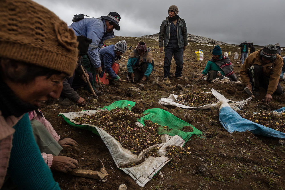 TARMA, PERU - OCTOBER 3, 2014: Workers harvest maca by scraping the earth with short-handled picks to expose the maca roots at an altitude of 14,800 feet in the mountains outside of Tarma, Peru.  Maca is one of the latest exotic plants from a remote corner of the world to gain an international following. Buyers from China showed up this year with suitcases full of cash to snap up the harvest, pushing prices into the stratosphere.  Workers said that despite receiving a raise this year they were not benefiting enough from the stunning rise in maca prices. They are paid $11.37 a day, they said, up from $9.65 last year. CREDIT: Meridith Kohut for The New York Times