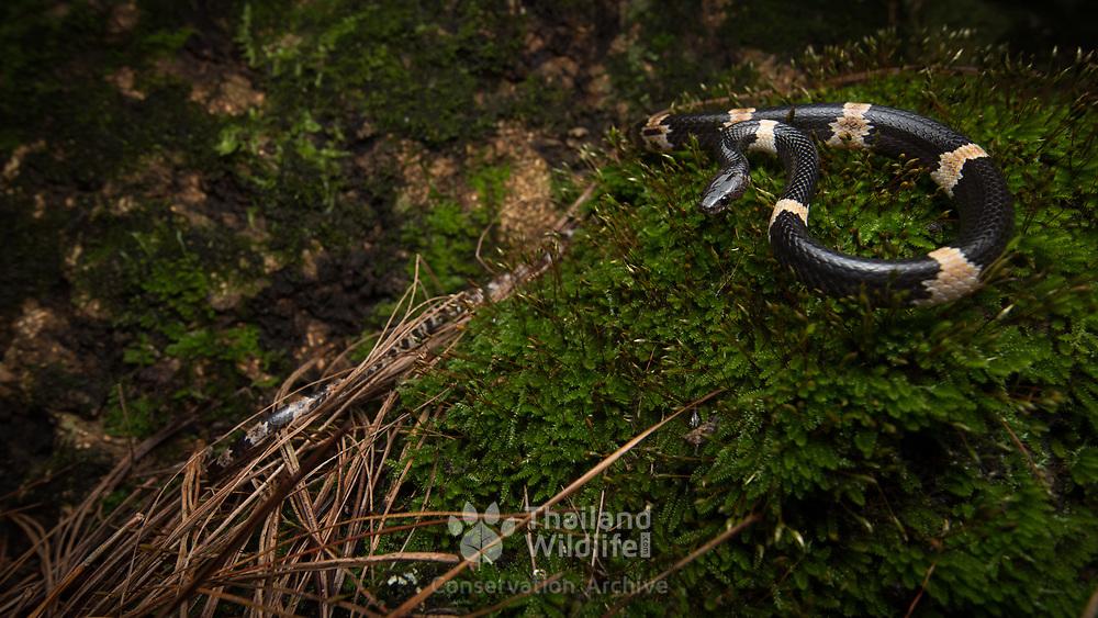 Banded Wolf Snake (Lycodon fasciatus) in Phu Hin Rong Kla national park, Thailand