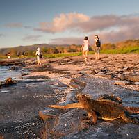 Marine iguanas bask in the sunlight as visitors walk along the beach at sunset on Puerto Egas, Santiago Island, Galapagos Islands, Ecuador.