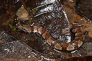 Spiral Keelback (Helicops petersi)<br /> Yasuni National Park, Amazon Rainforest<br /> ECUADOR. South America<br /> HABITAT & RANGE: Around water in Ecuador's eastern Andean Foothills.