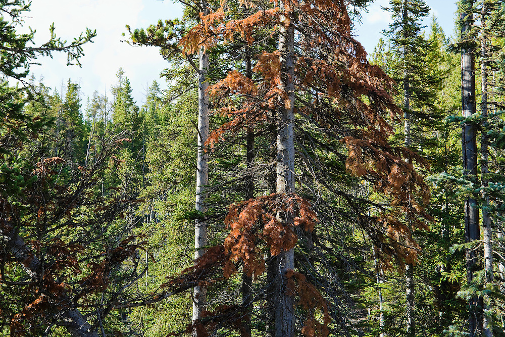 Reddened conifer tree showing signs of Mountain Pine Beetle infestation.  Yellowstone National Park, Wyoming, USA.