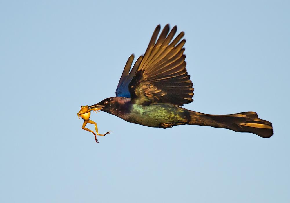 Frog Flier
