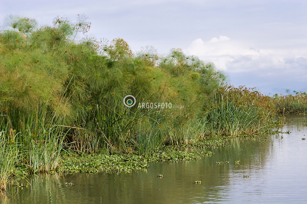 Papyrus plant growing in Lake Naivasha. Papyrus is a thick paper-like material produced from the pith of the papyrus plant, Cyperus papyrus. Lake Naivasha is a freshwater lake in Kenya, lying north west of Nairobi, outside the town of Naivasha. It is part of the Great Rift Valley.  / Planta de papiro. Papiro eh originalmente, uma planta perene da familia das ciperaceas cujo nome cientifico e Cyperus papyrus. Lago Naivasha no Kenya.