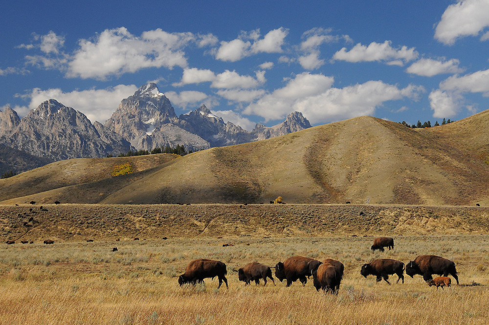The Jackson Bison Herd started in 1948 from a small herd of twenty that were captured in Yellowstone Park. All but four bison calves from this group were slaughtered in 1963, when brucellosis was discovered in the herd .The following year, twelve brucellosis-free bison were imported from Theodore Roosevelt National Park. From this small group of bison came the 1200 which currently comprise the Jackson herd.