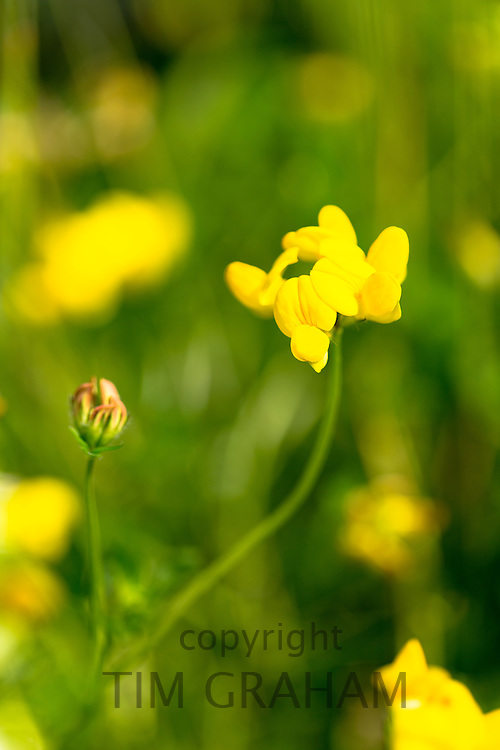 Wildflower Bird's-foot Trefoil, Lotus corniculatus, - birdfoot - in garden in The Cotswolds, England, United Kingdom