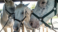 Three white Camargue horses stand with heads together wearing black bridles in the Camargue area of southern France.