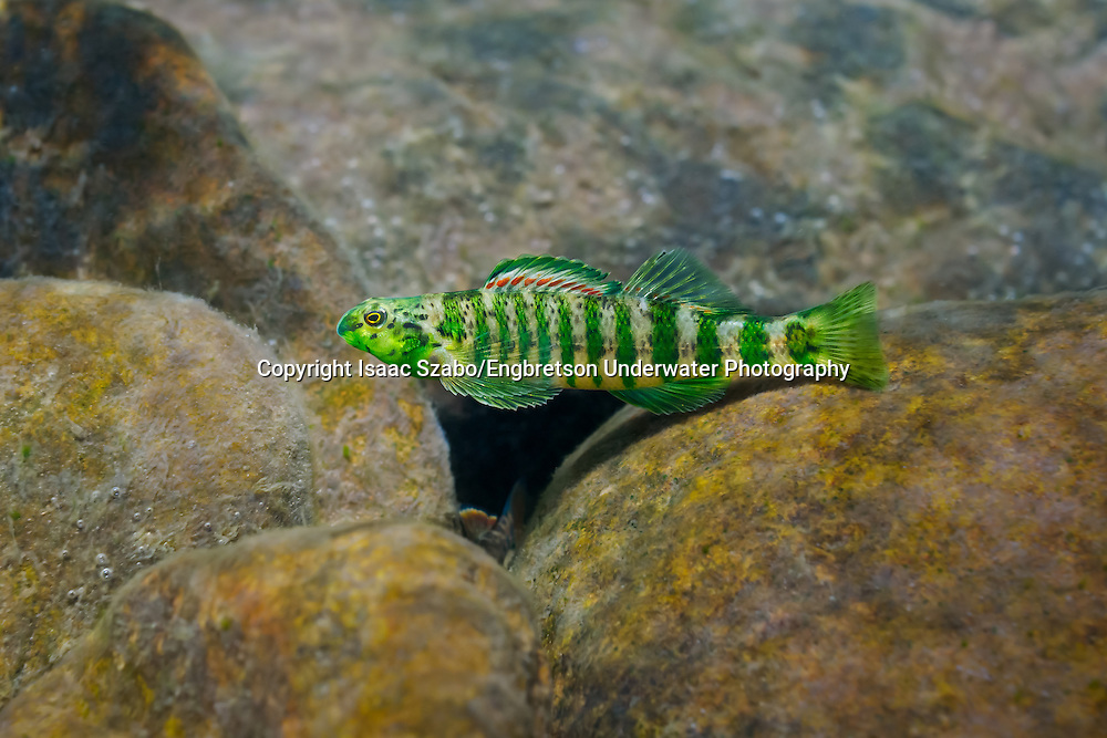 Banded Darter<br />