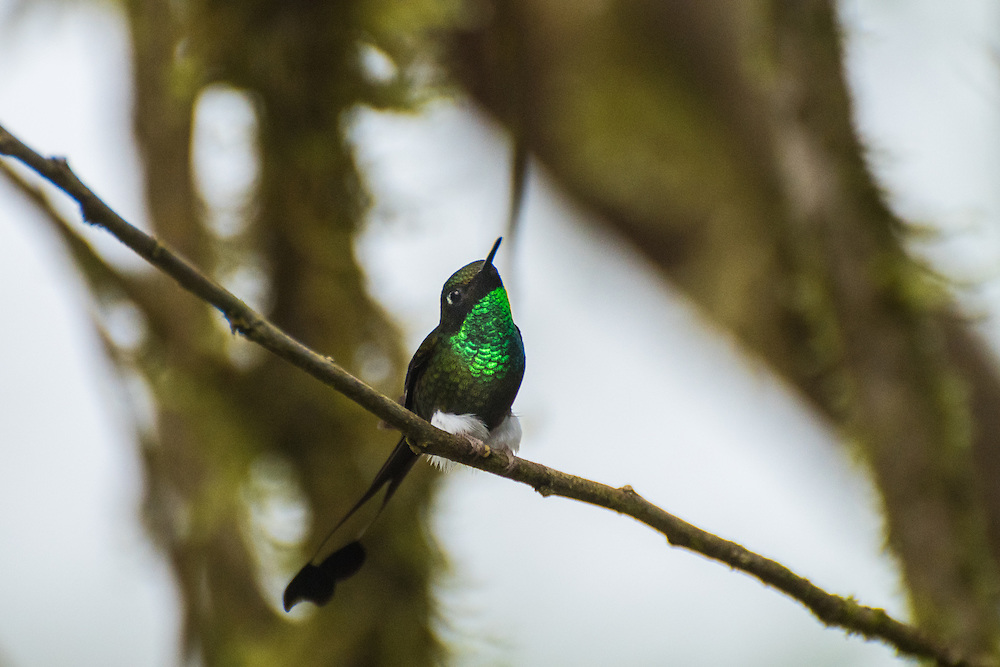 A Booted-rocket tail, a member of the Hummingbird family and known by his white socks, sits on a small branch, Santa Lucia Cloud Forest, Ecuador.