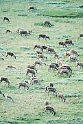 Alaska. Denali NP. Caribou (Rangifer tarandus) wander across tundra.