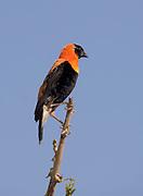 Black Bishop (Euplectes gierowii) from Lake Manyara NP, Tanzania.