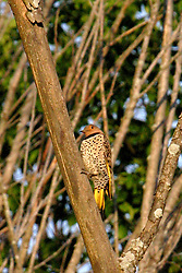 Northern Flicker (Photo by Alan Look)