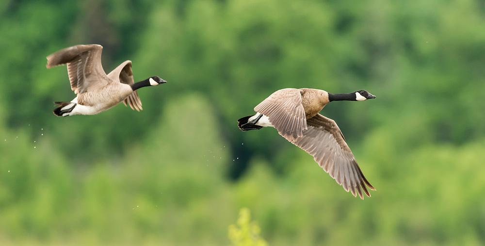 Canada Geese (Branta canadensis) flying over Potter Marsh in Southcentral Alaska. Spring. Morning.