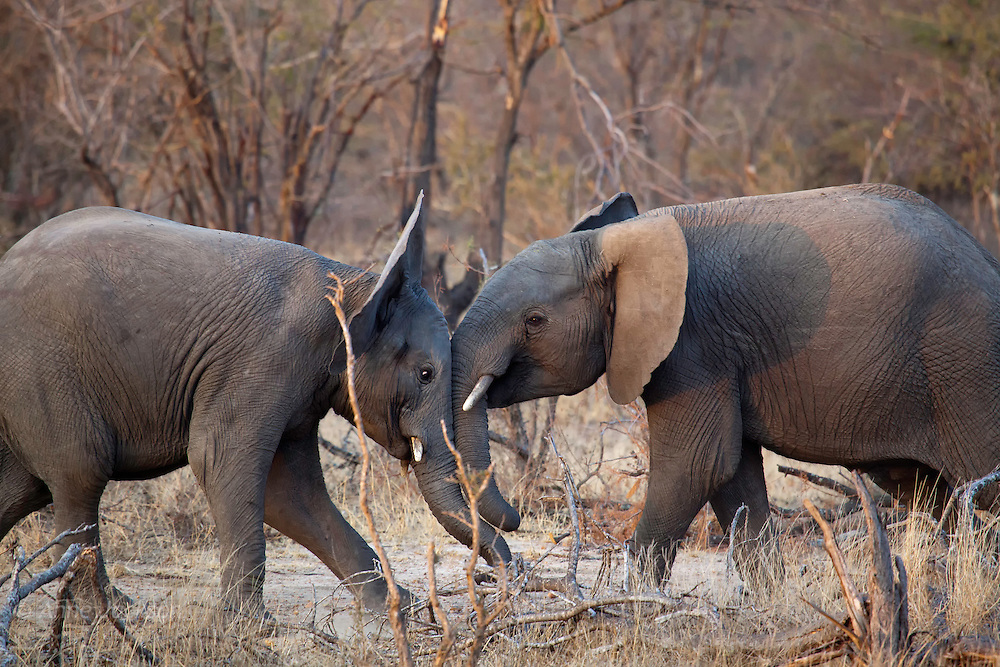 Young elephants fighting