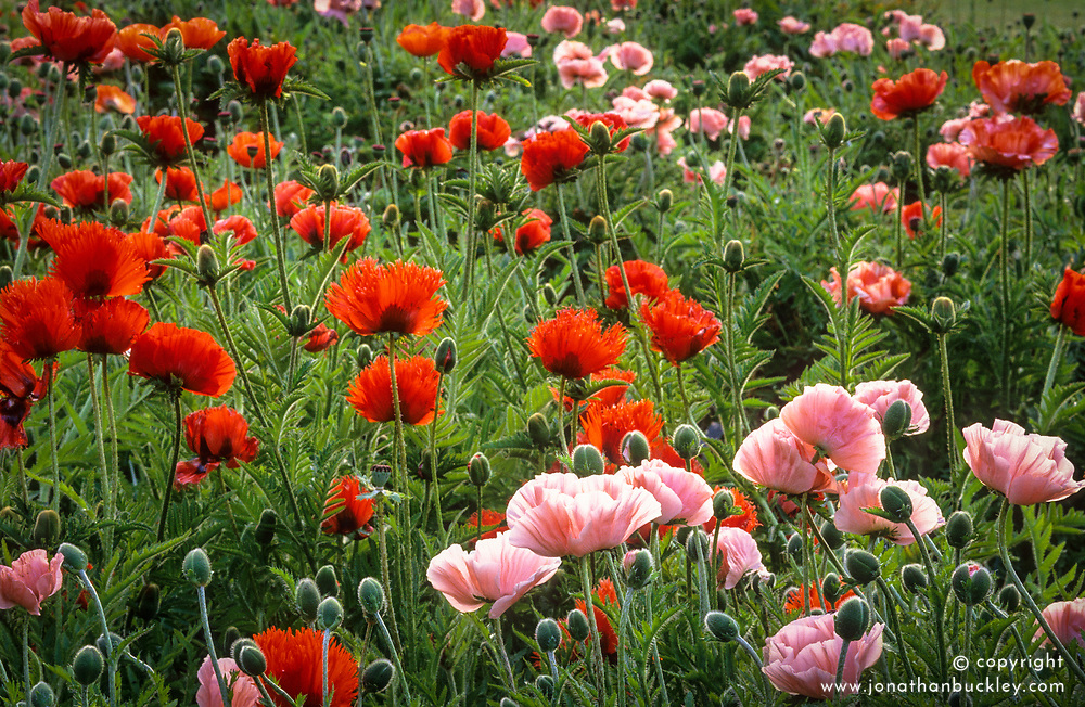 Poppies with evening light. Papaver orientale 'Turkenlouis' and Papaver orientale 'Mrs Perry' (Oriental group)