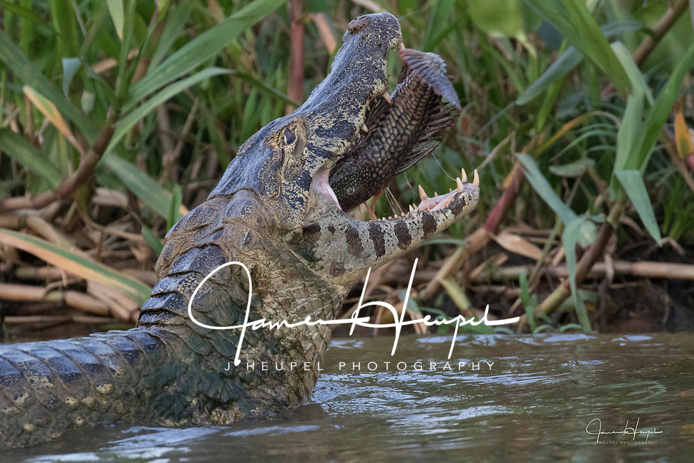 Yacare Caiman Turns Fish in its Jaws, so the Fish can go down its Throat