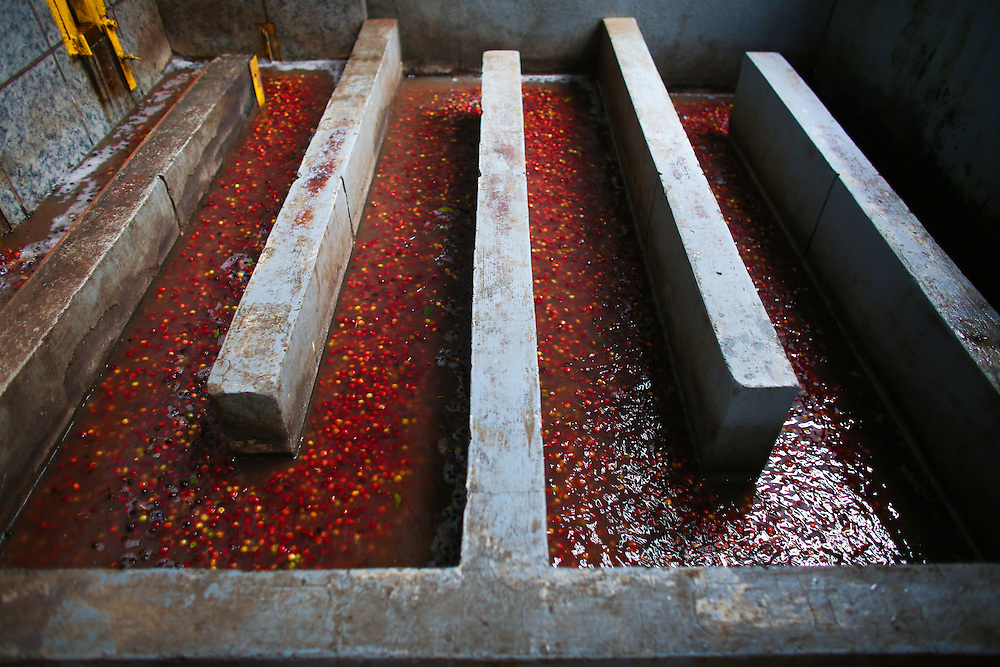 Coffee cherries in the Hacienda Alsacia wet mill are shown during the 2016 Starbucks Origin Experience for Partners. Photographed in January 2016. (Joshua Trujillo, Starbucks)