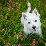 Westie pups