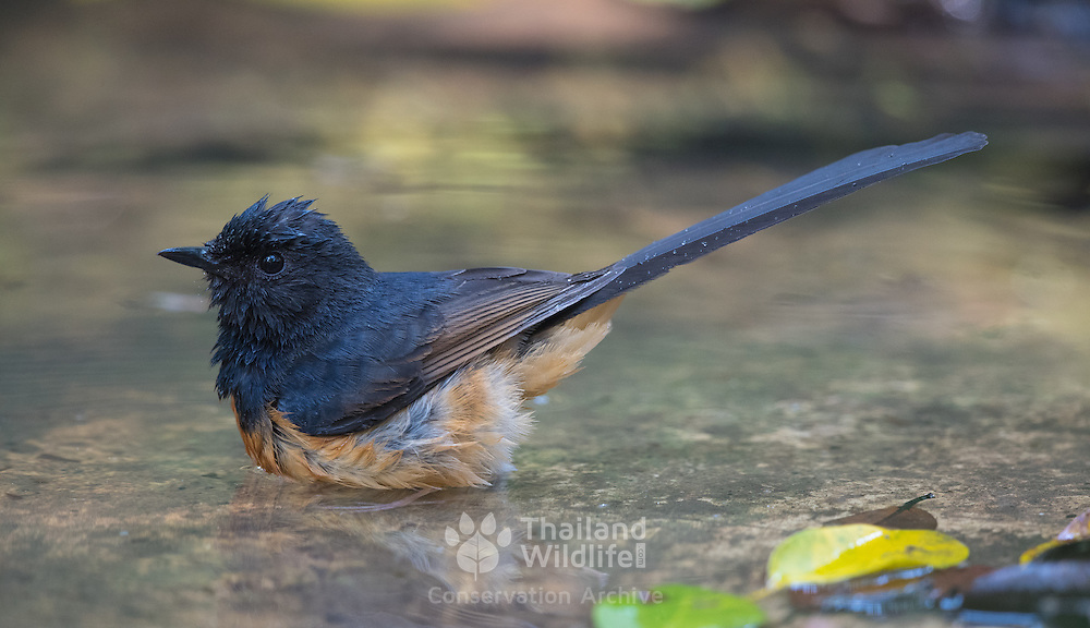 White-rumped shama (Copsychus malabaricus) male in from Phu Khieo Wildlife Sanctuary.