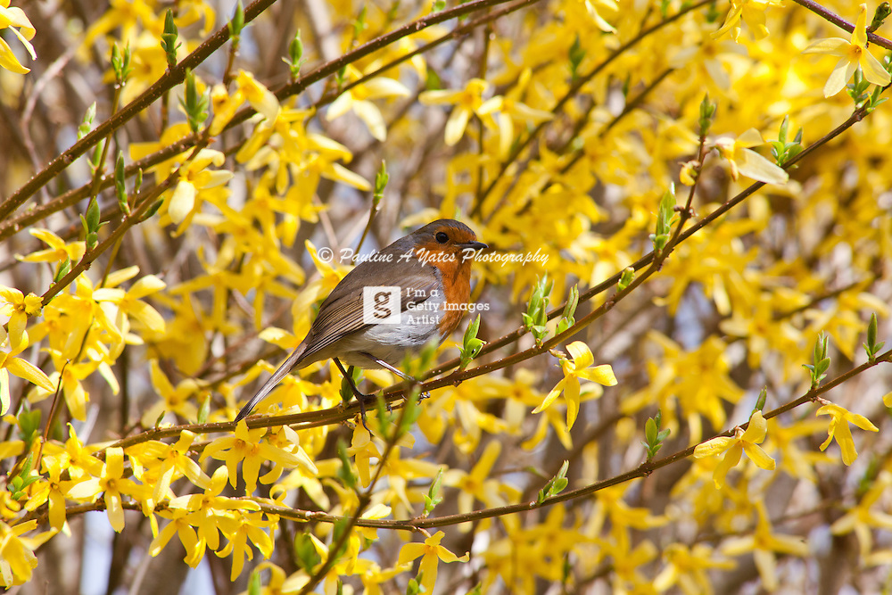 A Robin in the spring, sitting in a flowering shrub