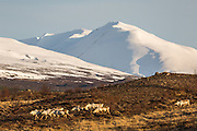 Reindeer in east Iceland