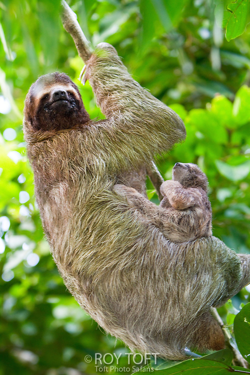 Mother and juvenile Brown-throated Three-toed Sloth (Bradypus variegatus) in tree, Osa Peninsula, Costa Rica