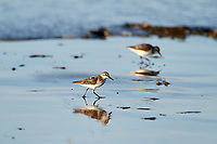Semipalmated Sandpiper (Calidris pusilla) foraging on beach, Cherry Hill Beach, Nova Scotia, Canada