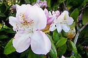 """Pink and white rhododendron with the name of """"Walloper"""" photographed in a friend's garden."""